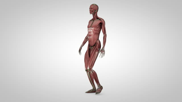 muscels and skeleton medicinal animation (anfas,profile,side walking - loop) - anatomy stock videos & royalty-free footage