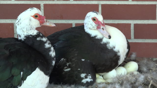 63 Muscovy Duck Video Clips & Footage - Getty Images