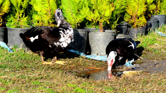muscovy ducks - two animals stock videos & royalty-free footage