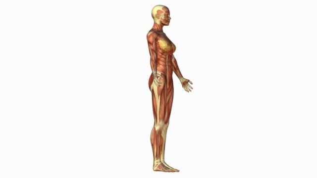 muscular system of human female - weibliche figur stock-videos und b-roll-filmmaterial