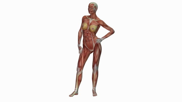 Muscular system of human female