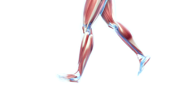 muscular system of jogger - human bone stock videos & royalty-free footage