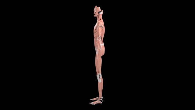 muscular system - muscle fiber stock videos and b-roll footage