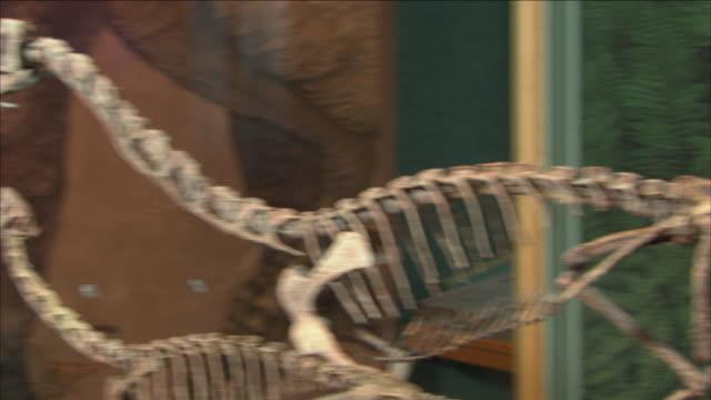 vídeos de stock, filmes e b-roll de a museum displays complete dinosaur skeletons. - osso