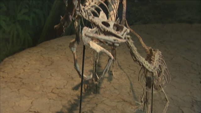 a museum displays complete dinosaur skeletons. - animal skeleton stock videos & royalty-free footage