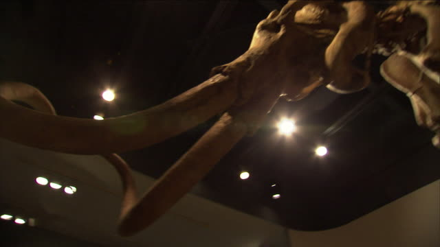 a museum displays the skeleton of a woolly mammoth. - animal skeleton stock videos & royalty-free footage