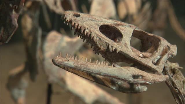 a museum displays whole dinosaur skeletons. - animal skeleton stock videos & royalty-free footage