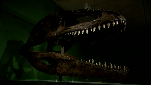 a museum houses tyrannosaurus fossils. - skull stock videos & royalty-free footage