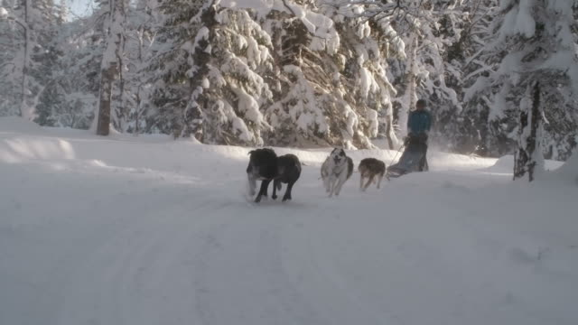Musher and dog team on a sled ride through woods
