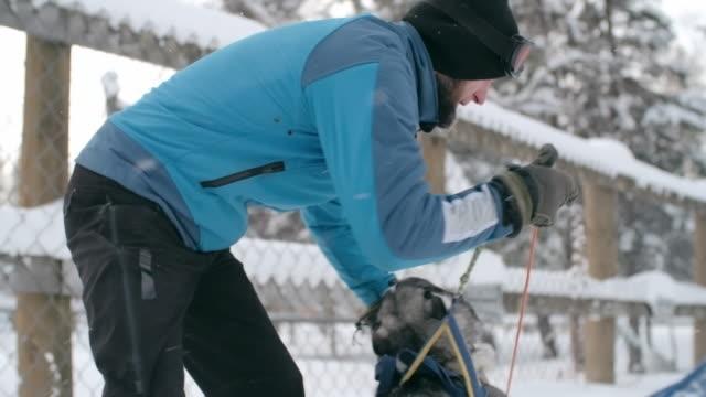 stockvideo's en b-roll-footage met musher attaching a restless husky to sled - alleen één mid volwassen man