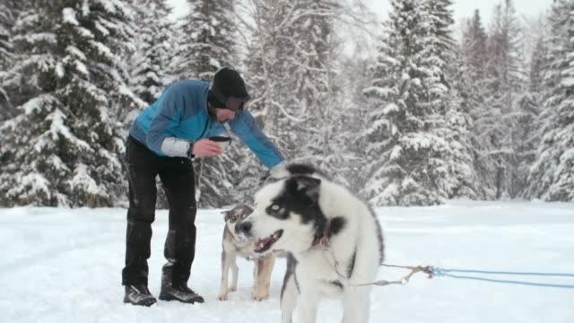 Musher petting team of Siberian huskies