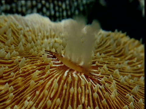 mushroom coral spawning, great barrier reef, australia - coral stock videos & royalty-free footage