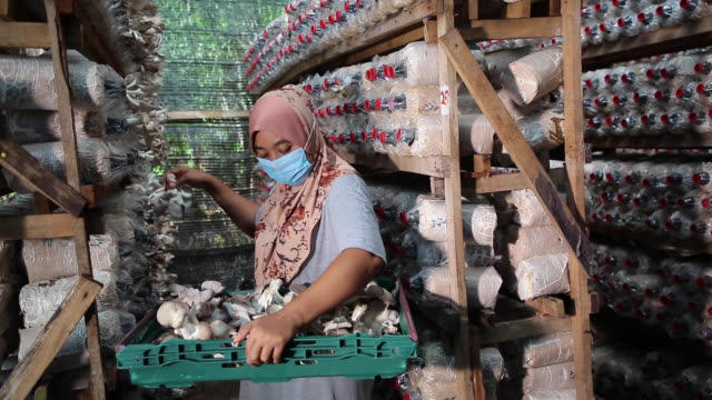 mushroom farm - malaysian culture stock videos & royalty-free footage