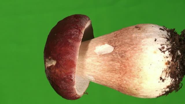 Mushroom (Boletus pinophilus) on Chroma Green
