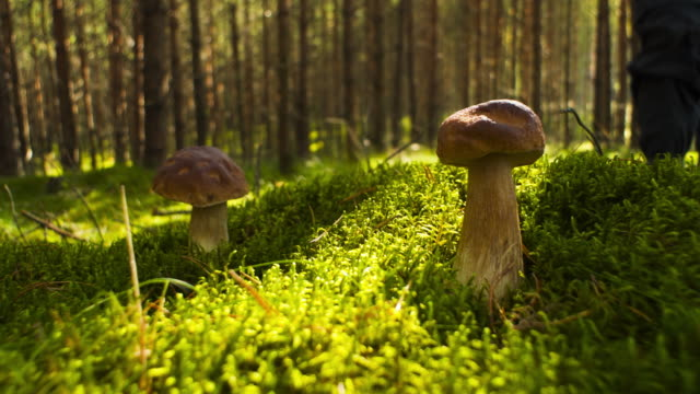 mushroom picking - mushroom stock videos & royalty-free footage