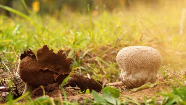 mushroom puffball - spore stock videos and b-roll footage