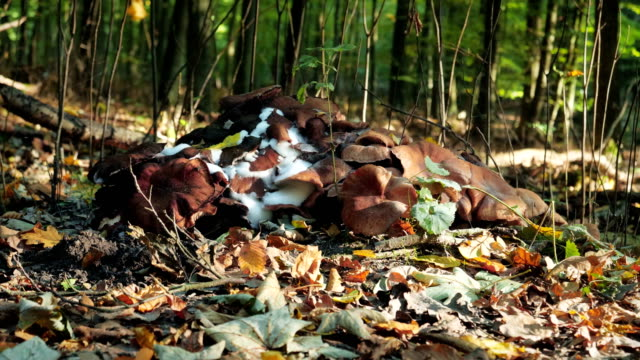 stockvideo's en b-roll-footage met mushrooms on a snag slow motion - boomstronk