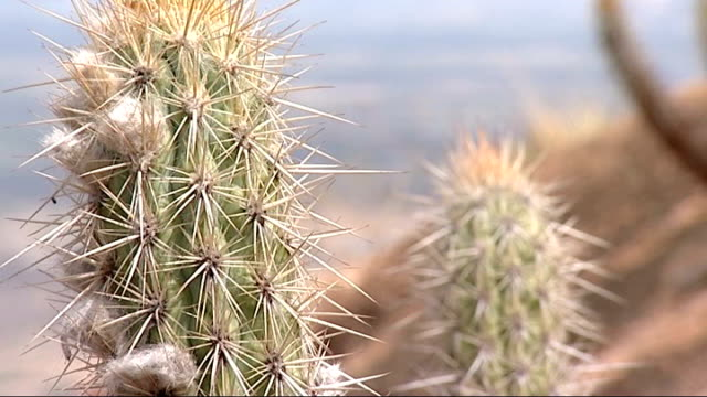 ext * * music overlay sot * * spiny cacti in desert landscape - succulent plant stock videos & royalty-free footage