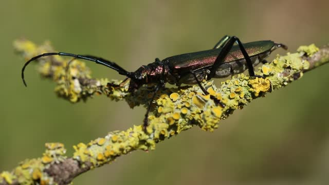 a musk beetle, lampyris noctiluca,  displaying on a twig at the edge of woodland. - twig stock videos & royalty-free footage