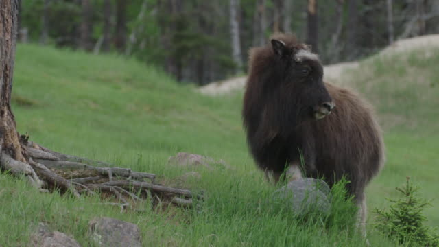 Musk ox calf walking and looking around