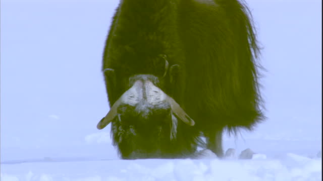 vídeos y material grabado en eventos de stock de a musk ox forages in deep snow. available in hd. - forrajear