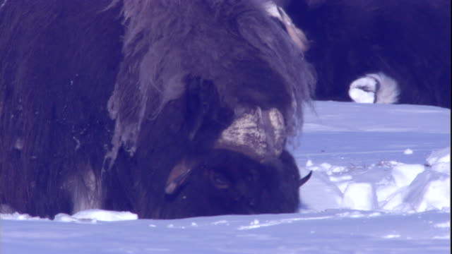 a musk ox forages in deep snow. available in hd. - kanada bildbanksvideor och videomaterial från bakom kulisserna