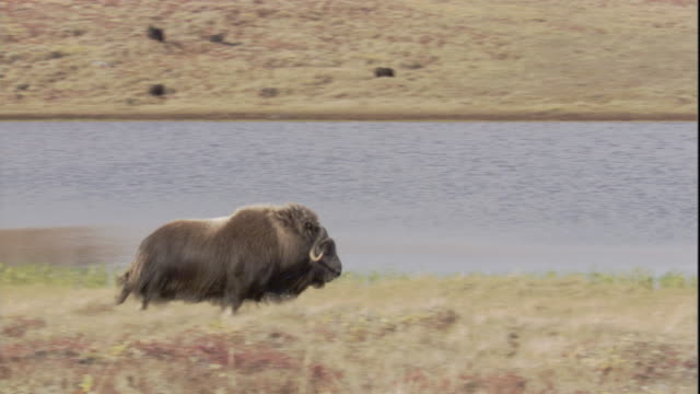 a musk ox gallops past a lake. - greenland stock videos & royalty-free footage