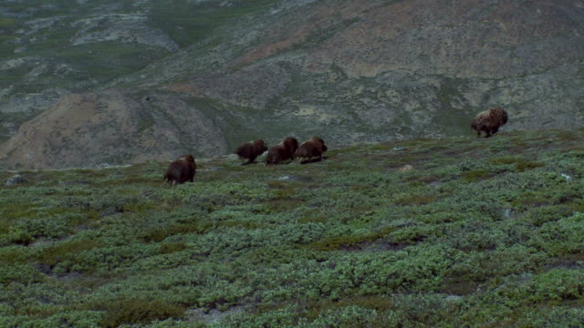 musk ox grassing in beautiful landscape in greenland - greenland stock videos & royalty-free footage
