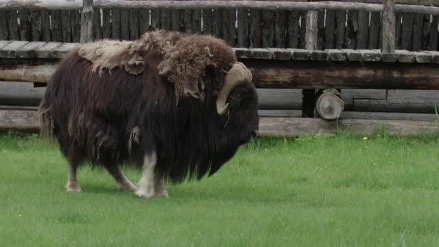 Musk ox on grass near wooden fence