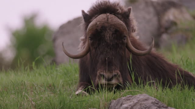 Musk ox resting on grass