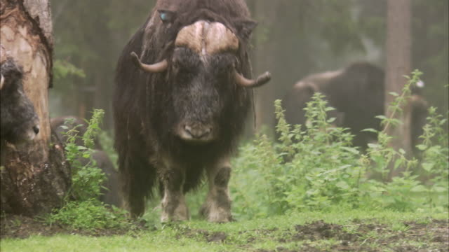 a musk ox sweden. - zoo stock videos & royalty-free footage