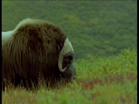 musk ox walks past, alaska - 牛車点の映像素材/bロール