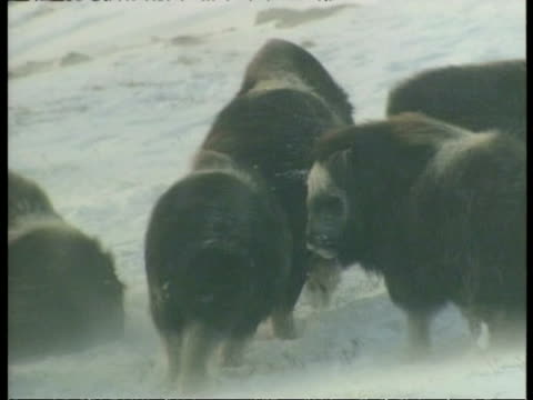 ms musk oxes, ovibos moschatus, in wind whipped snow, arctic circle - wind点の映像素材/bロール