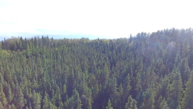 vídeos y material grabado en eventos de stock de muskeg forest - pinaceae