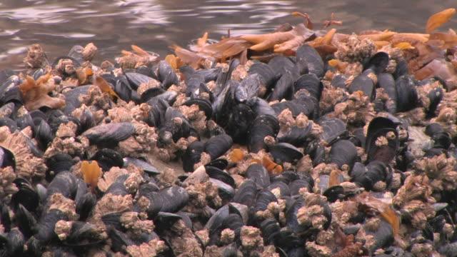 stockvideo's en b-roll-footage met cu, mussels, barnacles and seaweed on shore, glacier bay national park and preserve, alaska, usa - rankpootkreeft