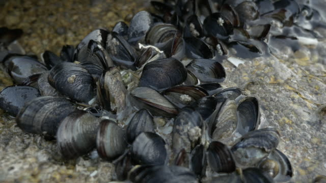 mussels in a rock in the atlantic coast - seashell stock videos & royalty-free footage