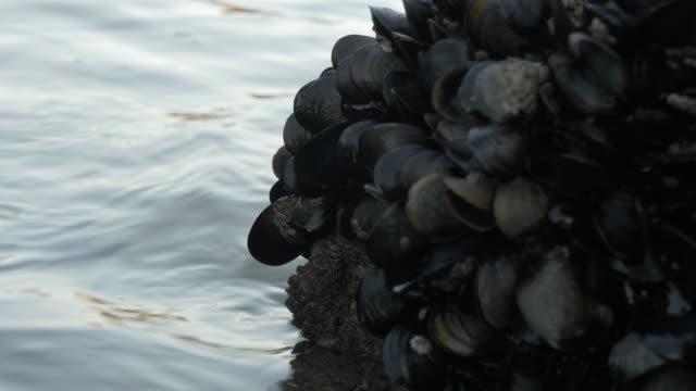 vidéos et rushes de mussels in a rock in the atlantic coast - roc