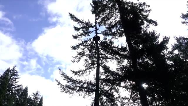 **must courtesy oregon zoo takoda the bear climbed 50 feet up a douglas fir tree at oregon zoo - douglas fir stock videos and b-roll footage