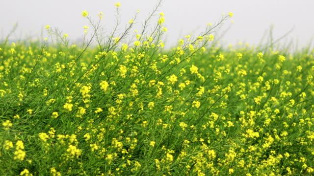 Mustard Crop during winter season