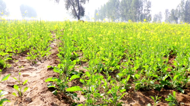 mustard crop field during springtime - mustard stock videos & royalty-free footage