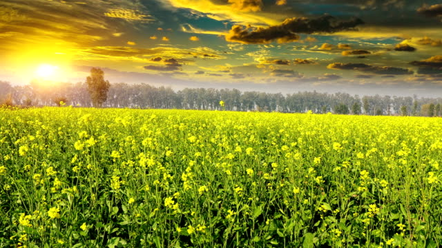 mustard crop field during sunrise - mustard stock videos & royalty-free footage