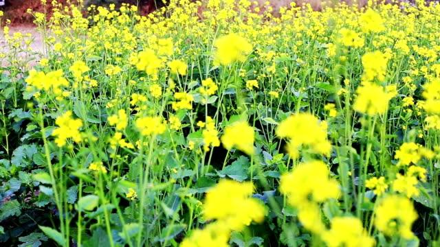 Mustard Crop Field Near Highway