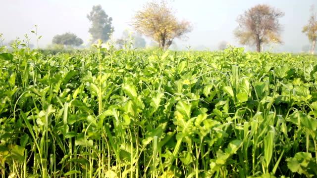 mustard crop field panning - mustard stock videos and b-roll footage