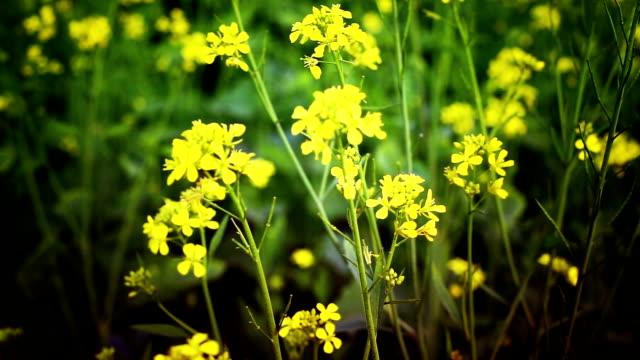 Mustard Crop Field