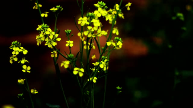 mustard crop landscape - mustard stock videos & royalty-free footage