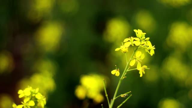 Mustard crop landscape