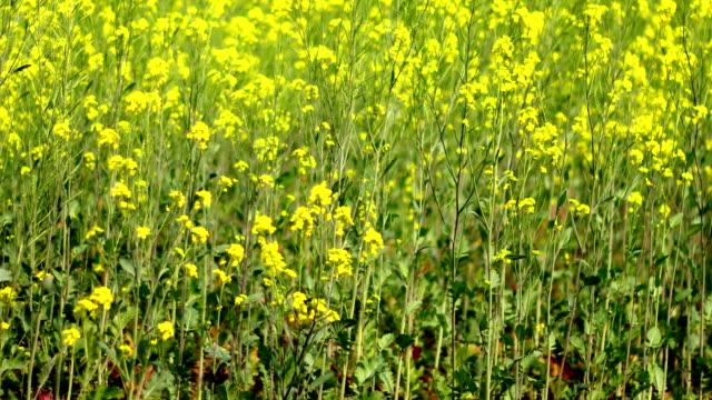 mustard crop landscape - mustard stock videos and b-roll footage
