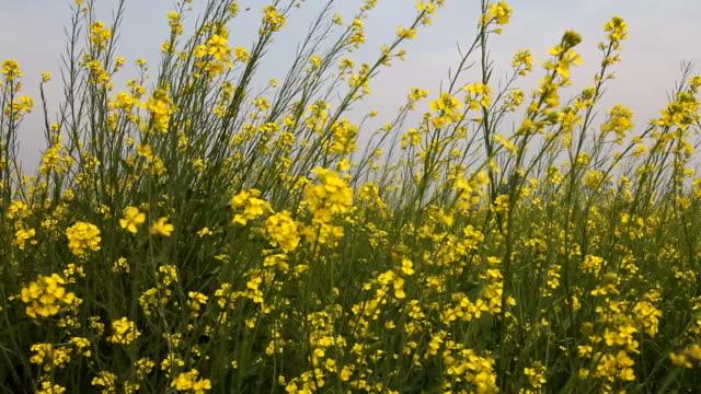 mustard crop - mustard stock videos and b-roll footage