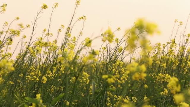 Mustard field, Haryana, India
