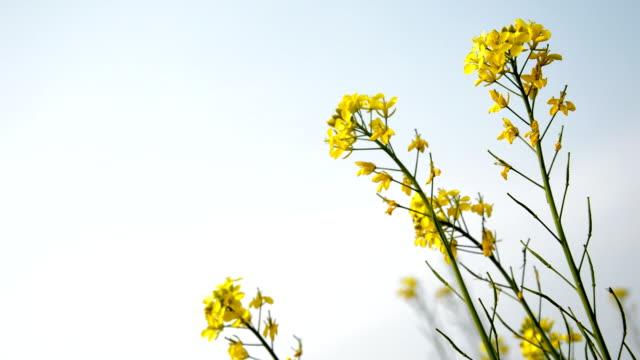 mustard field in winter season - mustard stock videos and b-roll footage